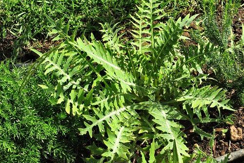 Sonchus ustulatus ssp. ustulatus (rq) - 03