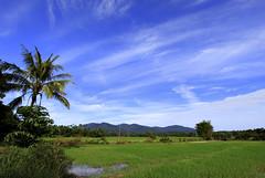 Paddy Field (Wan Hanafi Abd Rahman (1.8pictures.my)) Tags: padi sawahpadi pasirputeh