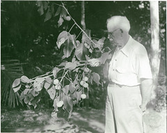 David Fairchild with a specimen of Sandoricum koetjape, Los Baños, Philippines