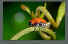 091208-07 (Taiwan-Awei) Tags: awei750 taiwan insect nature ecology macro elf summer bug green ecological wild tropical garden beetle 自然 生態 昆蟲 微距 taiwanawei awei featured 林敬偉 金花蟲