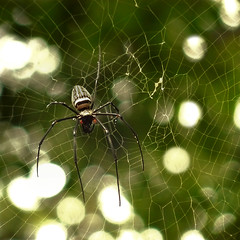 The golden orb web spider (Bn) Tags: topf50 spiderweb laos spidersweb weavers topf100 tms spidersilk tellmeastory orbweavers 5cm 100faves 50faves bolavenplateau goldensilkorbweaver spiderbokeh salavanprovince genusnephila topofatree thegoldenorbwebspider harmlesstohumans goldinsunlight goldensilkorbspiders strongestweb
