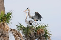 GBH Nest Building 2 (Slingher) Tags: heron nature birds wildlife breeding wetlands mating greatblueheron viera gbh