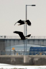 Formation Flying (Susanne Peters (aka Cyber) 1M Views & Counting!) Tags: iowa baldeagles leclaire lockdam14