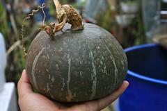 Kabocha Squash Harvest