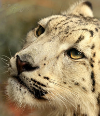 Close-Up and Personal With Snow Leopard Cubs! (Little Lioness) Tags: bigcats snowleopard unciauncia endangeredanimals snowleopardanimal exoticcatsforsale flickrbigcats closeupphotosofsnowleopards babysnowleopards snowleopardeyes photosofbabysnowleopards babysnowleopardsinthewild closeupsnowleopard photosofendangeredanimal cutesnowleopardcubs cutebabysnowleopards cutecubs exoticfelids snowleopardcat snowleopardeyescloseup wildcatsoftheworld exoticcatspecies snowleopardspics adrablephotosofsnowleopardcubs mothersnowleopardandcubs