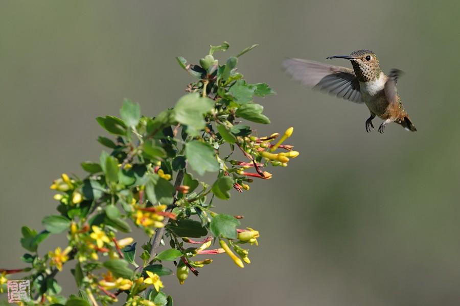 Allen's Hummingbird 02101-114