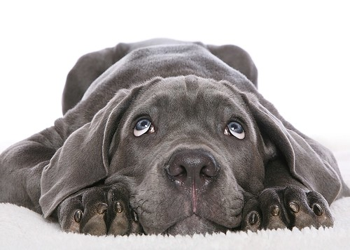 Gray Blue White - dog
