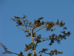 eagles (bee wolf ray) Tags: vancouverisland eaglesnest eagles comox
