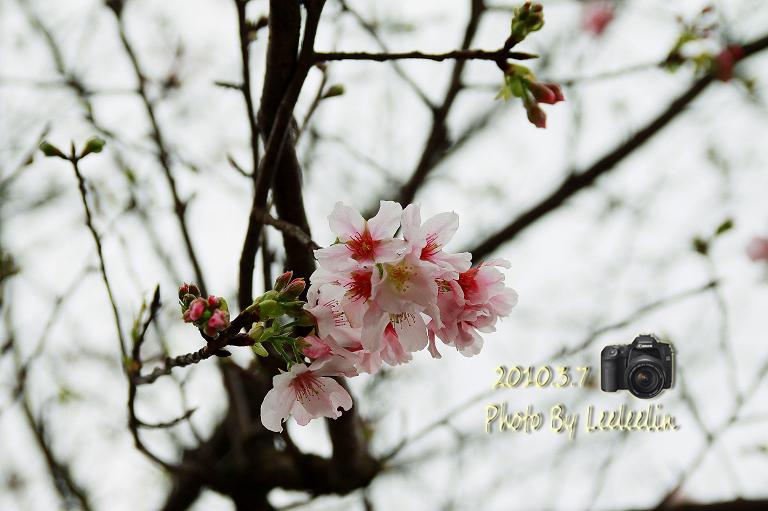 [新北淡水賞櫻勝地] 無極天元宮