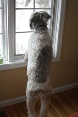 Bear Dog (playmyuke94) Tags: dog animal puppy canonxsrebel
