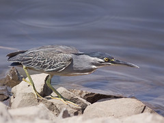 Little or Striated Heron  [Explored] (Tarique Sani) Tags: bird greenbackedheron striatedheron butoridesstriata fav10 littleheron