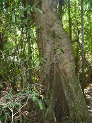 Sea Acres (phempsall) Tags: trees vines rainforest portmacquarie seaacres seaacresrainforestcentre