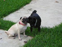 DSCN2225 (amanda.a.harkins) Tags: pink blue dog playing black hot male green grass car female puppy outdoors chains eyes bars mess feather pug chain indoors prison fawn tired jail fancy zebra collar pugs scottie houndstooth