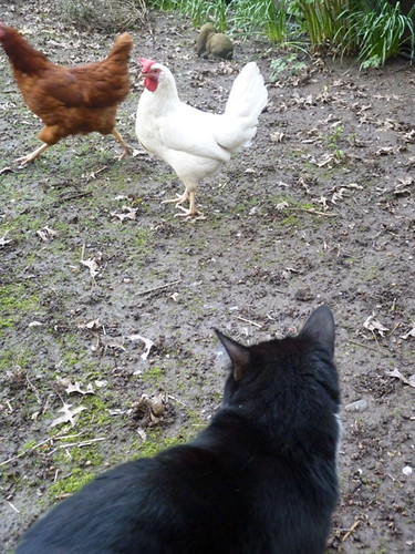 Sylvester with Chickens