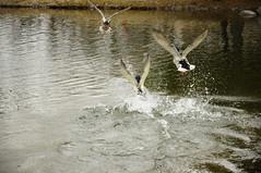 Ducks Taking Flight! (ThomasD300) Tags: duck nikon quebec 1870mm longueuil d300 basedepleinair nikond300 thomasd300