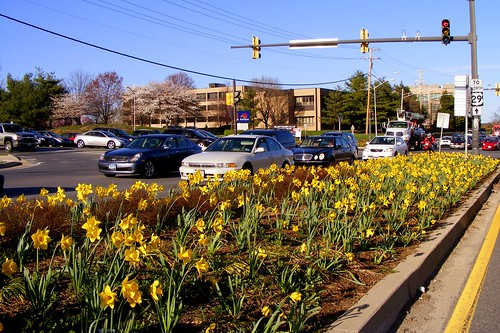 Daffodils in Burtonsville