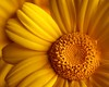 structure (helen sotiriadis) Tags: flower macro yellow closeup canon petals published structure stamen daisy canonef100mmf28macrousm canoneos40d toomanytribbles updatecollection