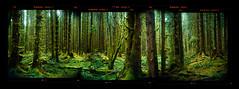Hoh (Zeb Andrews) Tags: trees panorama green film forest washington hoh rainforest pano olympicpeninsula pacificnorthwest olympicnationalpark mossy stitched holgarama bluemooncamera holga120fn zebandrewsphotography