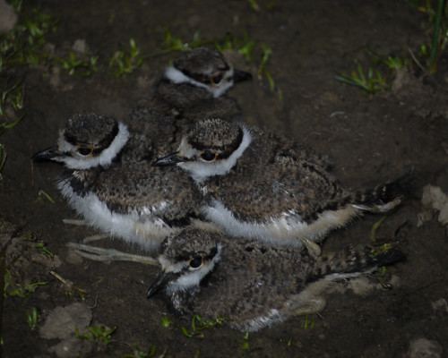 baby killdeer after dark