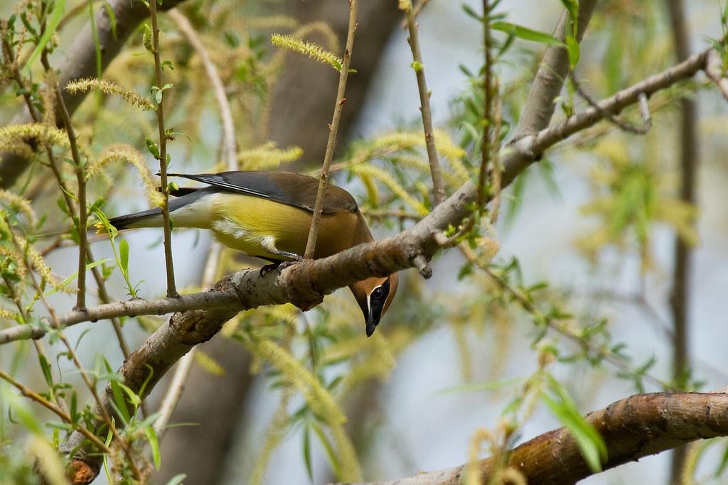 Animales salvajes observables de Tennessee | Waxwing de cedro - Hábitat: FOREST
