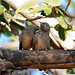 Jungle Babblers (Peter Johnson)
