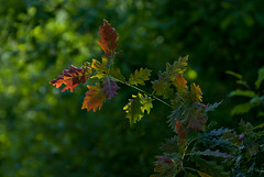 sometimes something just feels right (devonteg) Tags: leaves june oak nikon bokeh