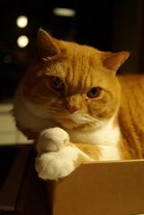 My annoyed cat (Stella Borne Mikkelsen) Tags: pet cat paws britishshorthair pentaxk10d catnipaddicts