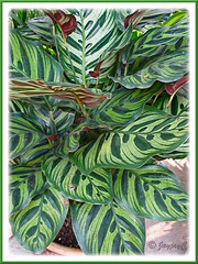 Calathea makoyana (Peacock Plant, Cathedral Windows) at a garden nursery