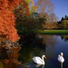 Cincinnati - Spring Grove Cemetery & Arboretum Swans in Autumn