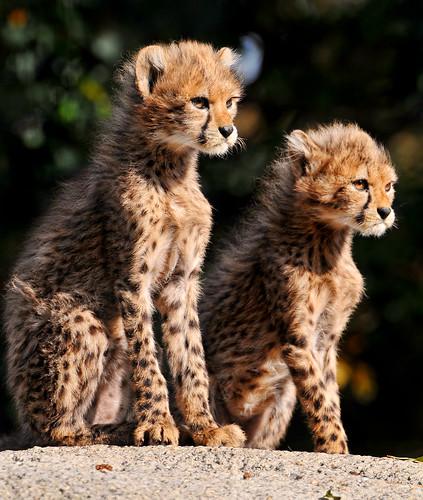 フリー画像| 動物写真| 哺乳類| ネコ科| チーター| 兄弟/姉妹|      フリー素材|