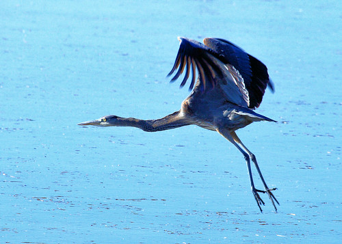 5x7 Great Blue Heron Flying