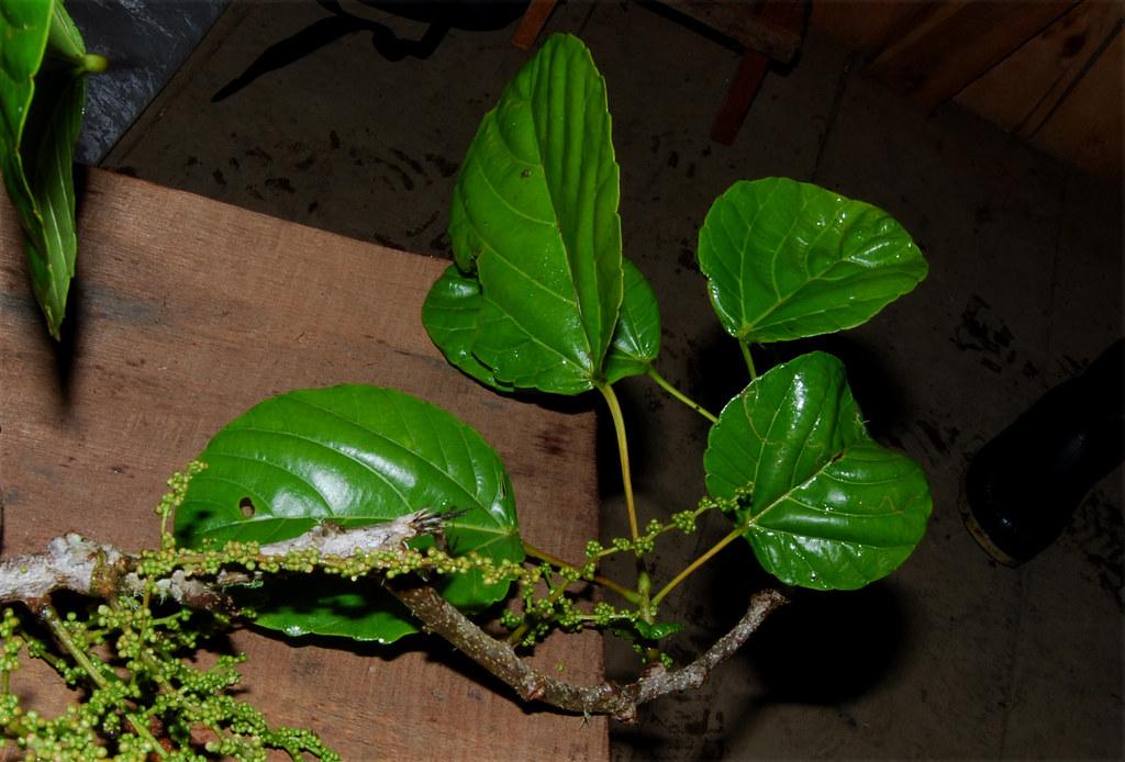 Alchornea image