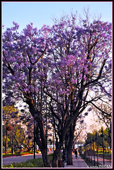 Purple Flowering Tree In Sunset Light, Islamabad Pakistan - IMRAN  3100+ Views! (ImranAnwar) Tags: travel flowers blue trees pakistan sky nature outdoors landscapes nikon purple dusk framed blossoms peaceful tranquility 2009 imran magnolias d300