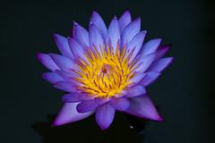 Watercolor (Peter Nijenhuis) Tags: bali flower indonesia lotus 500d ef70300mmf456isusm tamanburungbalibirdpark peternijenhuis