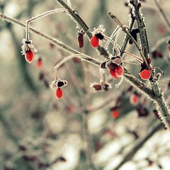 Frosted berries (MarianneLoMonaco) Tags: morning winter red ontario canada cold tree photography grey frozen pretty frost berries here marianne simcoecounty lomonaco