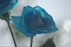 Blue Rose #2 (bluehazyjunem) Tags: blue winter rose suntory picnik 2010 naturesfinest