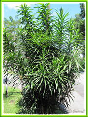 Dracaena deremensis, a NOID (plant without proper identification) variety in the neighbourhood
