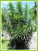 Dracaena deremensis (Dracaena, Dracaena Cane, Green Dracaena, Cornstalk Dracaena)