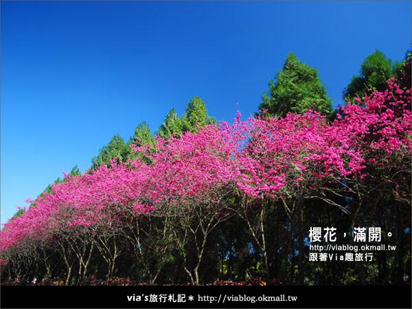 【九族櫻花季】櫻花滿開!最浪漫的九族文化村櫻花季3
