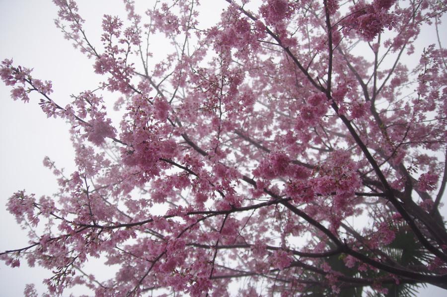 春‧櫻雨綿綿