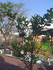 Calamansi / Calamondin (HunnieBunch) Tags: cactus plants rooftop garden chili herbs bougainvillea peppers ferns lemongrass tropics iphone rooftopgarden hotweather calamansi coolweather silinglabuyo airme