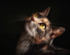 The Contessa (Pat Abbott) Tags: cats pets animals domestic