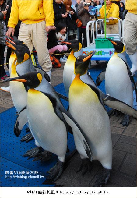 【via關西冬遊記】大阪海遊館~冬季限定!無敵可愛企鵝遊行來囉!17