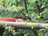 The red pandas are no more active …
