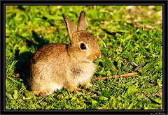 Rabbit (a3aanw) Tags: rabbit nikon konijn d300 koogaandezaan westzijderveld sigma150500mmf563dgoshsm