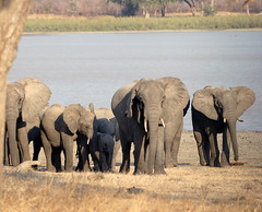 Elephants, Vwaza Marsh Wildlife Reserve