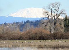 Sandhill crane at Sauvie Island, Wildlife Area, Oregon. Mt. St. Helens in the background
