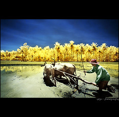 A Piece Of Morning#3 (yoga - photowork) Tags: morning panorama tree nature canon indonesia lens landscape ir photography wideangle bluesky v3 canon350d infrared farmer 1022mm humaninterest landscapephotography inspiredbylove morningactivity trasognoerealtà beautifulindonesia visitindonesia