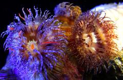 The ocean fantasy (Abdullateef Al Marzouqi) Tags: colors underwater uae fancy scubadiving corals g11 underwaterphotography anemona seerbuneer