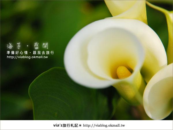 【2010竹子湖海芋季】陽明山竹子湖海芋季~海芋盛開囉!27